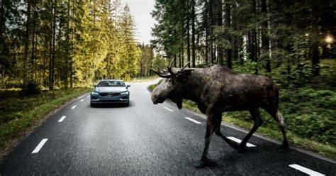 Kā rīkoties, ja uz ceļa notikusi sadursme ar dzīvnieku ...