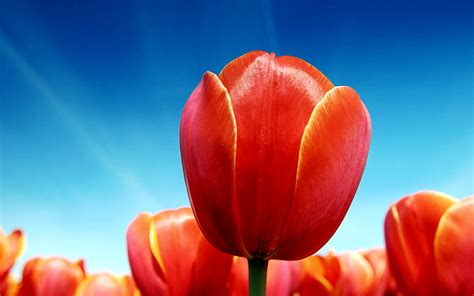 tulips wallpapers wallpapers hd
