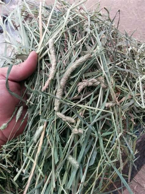 hay horse orchard horses grass timothy quality horsejournals cut sugar nutrition handful