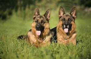 40+ German Shepherd Wallpapers   HD Dogs Wallpapers – HD ...