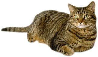 tabby cat pictures follow the piper official state dogs and cats