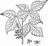Ivy Poison Clipart Flowers Coloring Etc Shrubs Plant Pages Leaf Leaves Kava Template Usf Edu Shrub Greenery Fantasy Poisonivy Fall sketch template