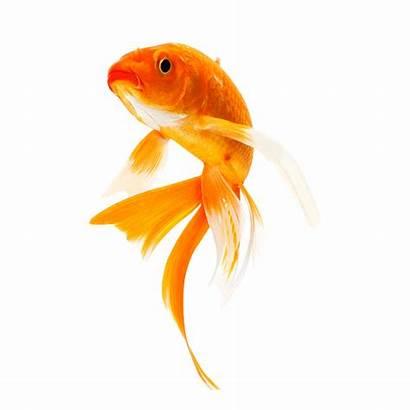 Fish Goldfish Koi Freshwater Related Pngimg Pluspng