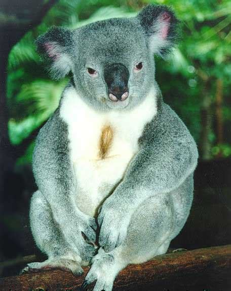 phascolarctos cinereus koala