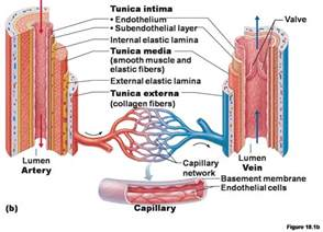 Heart Arteries and Veins Diagram