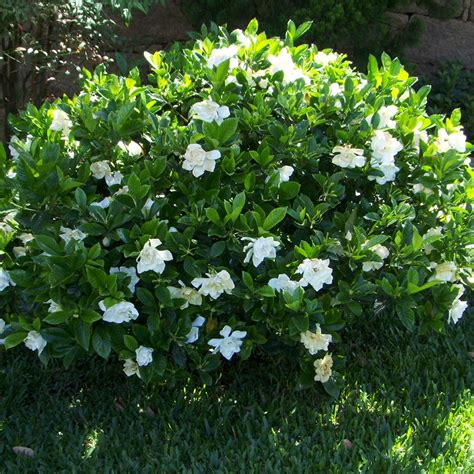 gardenia in a pot 1 x gardenia jasminoides kleim s hardy cape evergreen shrub plant in pot