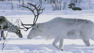 Arctic Reindeer | Plains | Earth - A New Wild  Arctic