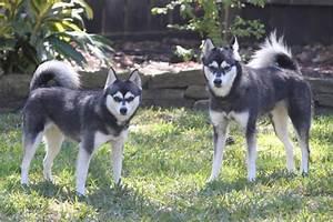 Alaskan Klee Kai Info, Temperament, Puppies, Care, Pictures