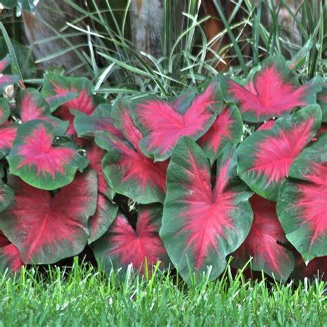 caladiums florida caladium fancy florida cardinal