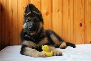 what, you, need, to, know, about, your, german, shepherd, puppy