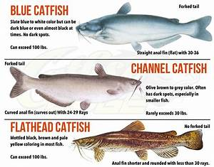 Flathead Catfish Wallpaper - WallpaperSafari