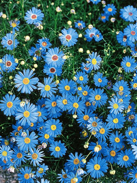 what plants are annuals best blue annual flowers for your garden hgtv