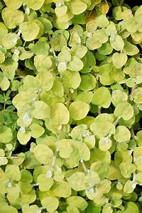 lemon licorice plant helichrysum petiolare 39 lemon