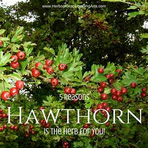 5 Reasons Hawthorn Is The Herb For You by Hybrid Rasta Mama