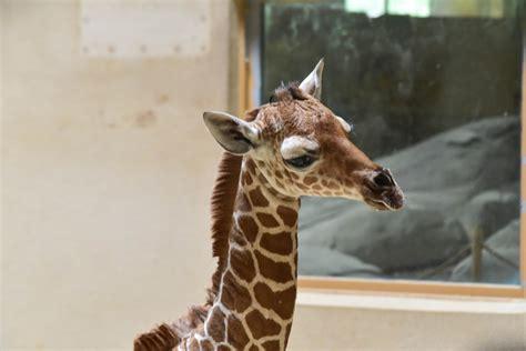 giraffe baby zoo maryland born baltimore care another sun