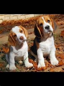 Pocket Beagle Rescue