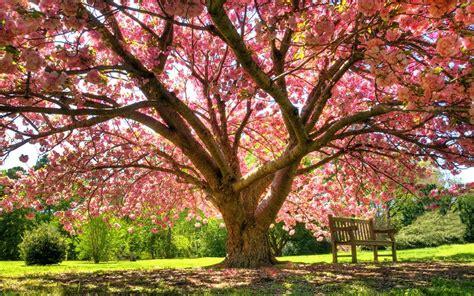 Primavera 4k Wallpapers by Bench Blossoming Tree Fondo De Pantalla And