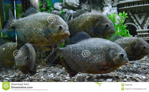poissons de piranha dans un aquarium photo stock image