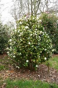 Camellia Japonica Winterhart : camellia japonica moshe dayan plants oak leaf gardening ~ Eleganceandgraceweddings.com Haus und Dekorationen