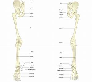 Overview Of Bones Of The Lower Limb  Posterior And