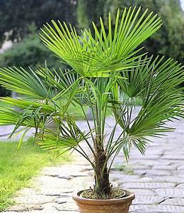 überwintern Von Palmen : die hanfpalme ist winterhart baldur garten ~ Michelbontemps.com Haus und Dekorationen