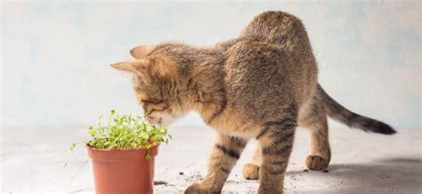 unbedenkliche pflanzen für katzen ungiftige zimmerpflanzen f 252 r katzen pflanzen f 252 r drinnen und drau 223 en