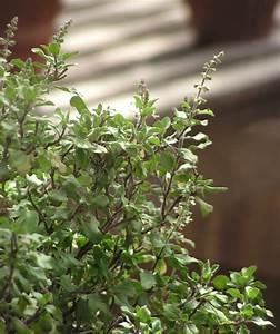 Ocimum tenuiflorum - Wikipedia