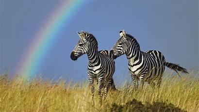 Wallpapers Zebra Backgrounds Kruger National Park Safari