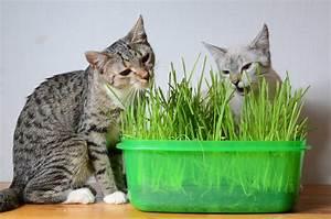 Graine Herbe A Chat : alimentation naturelle chat herbe chat inconv nients et avantages ~ Melissatoandfro.com Idées de Décoration