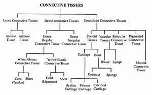 Types Of Connective Tissues  With Diagram