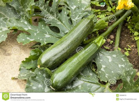courgette plant royalty free stock photo image 33599515