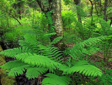 Farn, Blatt, Natur, Wald, Blatt, Baum