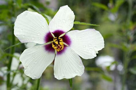 ibisco una pianta ornamentale da cui  ricava anche una