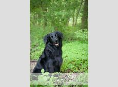 FlatCoated Retriever Border Collie Mix , what I guess
