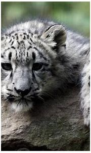 White Tiger Cub Wallpapers (67+ background pictures)