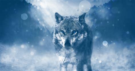 fondos de pantalla de lobos  pc fondos de pantalla