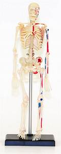 Small Human Skeleton Model  9 5 Inches Tall