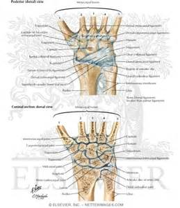 Wrist Ligaments and Tendons Anatomy