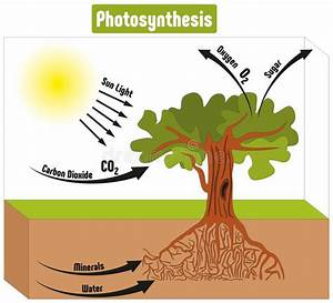Photosynthesis Process In Plant Diagram Stock Vector