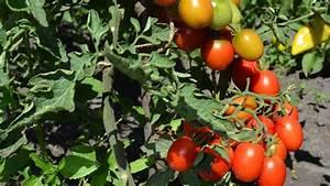 Quand Planter Les Tomates Cerises : tomate cerise plantation entretien c t maison ~ Farleysfitness.com Idées de Décoration