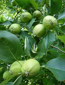 Young green apples on tree | Apples | Pinterest