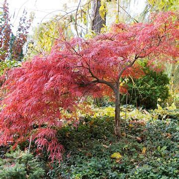small japanese maple all about japanese maples acer palmatum japanese maple and small trees