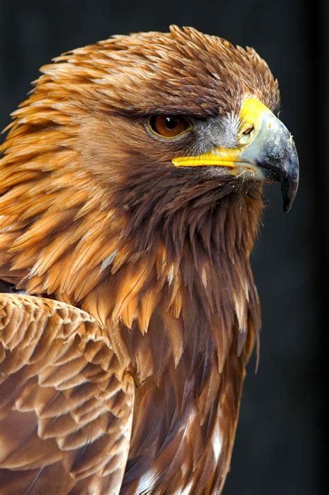 golden eagle wallpaper  images