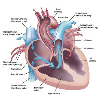 heart   blood flow   heart cardiology services lee health
