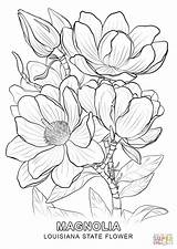 Coloring Louisiana State Flower Pages Printable Drawing Magnolia sketch template