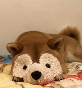 Cute Shiba Inu GIF - Find & Share on GIPHY