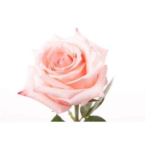 light pink roses light pink engagement flower muse