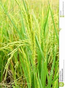Rice Tree Stock Photo