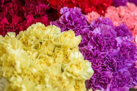 fiori garofano significato garofano significato dei fiori conoscere