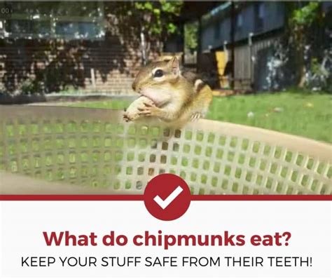 how to keep chipmunks out of your garden what do chipmunks eat nuts acorns wires more pest strategies